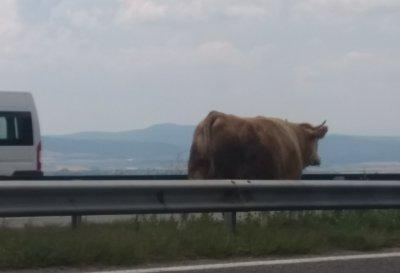 """Куриоз: Бременна крава заседна между мантинелите на АМ """"Тракия"""" до Ихтиман"""