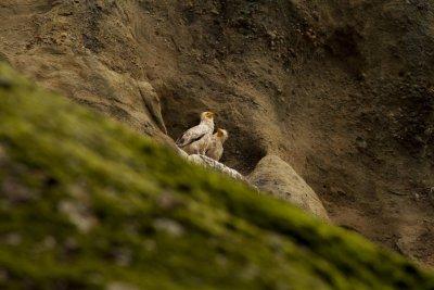 За пръв път от 13 г. двойка египетски лешояди гнезди в Северна България