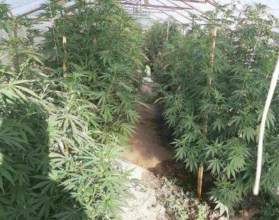 Криминалисти в Пазарджик разбиха оранжерия за отглеждане на марихуана