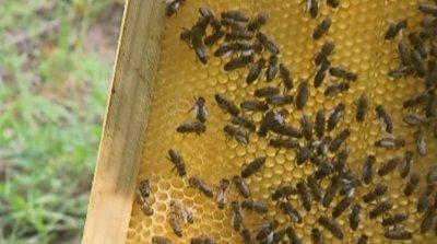 Рекордно ниски добиви на мед. Какви са причините?