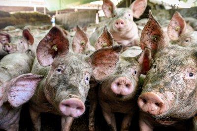 Япония забрани вноса на свинско месо от Германия