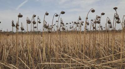 Заплаха за реколтата в Добруджа