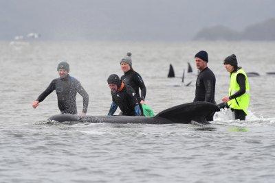 Трети ден спасяват заседнали китове край остров Тасмания