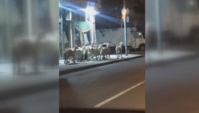 Селскостопанска атракция: Кози се разхождат свободно в пловдивски квартал