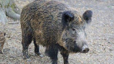 БАБХ потвърди една положителна проба за АЧС при дива свиня от началото на ловния сезон