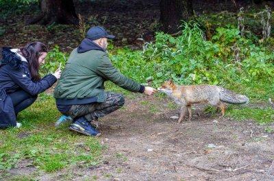 Туристи хранят лисици на Витоша