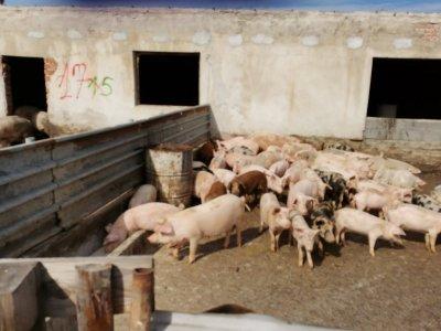 Разкриха две нелегални ферми за прасета