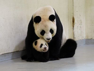 В Нидерландия се радват на бебе панда от мъжки пол