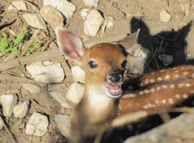 Петнисто виетнамско еленче се роди в Софийския зоопарк