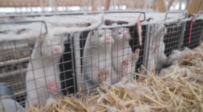 Падат ограниченията в районите с ферми с норки в Дания