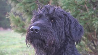 Дресират кучета да разпознават хора с коронавирус
