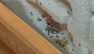 Колония от мравки отглежда Природонаучният музей в Пловдив