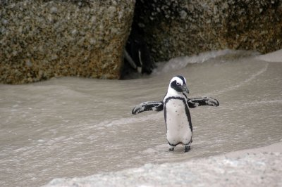 Заснеха рядък вид пингвин на остров Галапагос