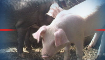 БАБХ откри 31 случая на африканска чума по свинете през ноември