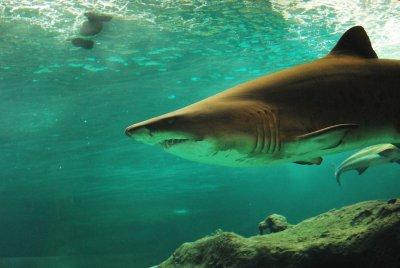 Сърфист оцеля по чудо след атака от голяма бяла акула