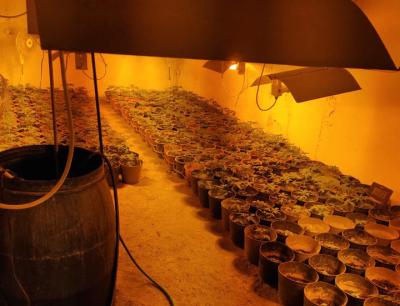 Разкриха голяма наркооранжерия в Бойчиновци