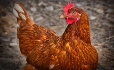 БАБХ откри огнище на инфлуенца по птиците в Плевенско