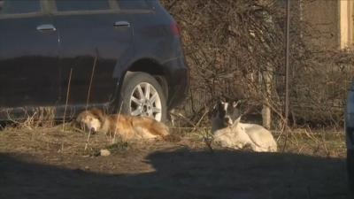Бездомни кучета нападнаха 9-годишно дете в Дупница