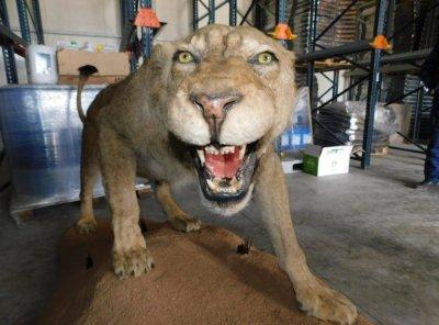 Откриха препариран лъв в хале на фирма в Разград (Снимки)