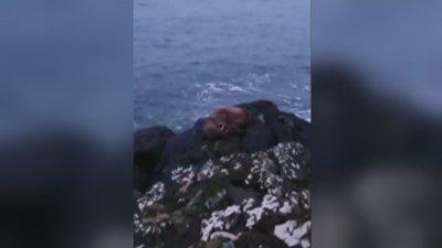 Малък морж заспа върху ледник и стигна до Ирландия