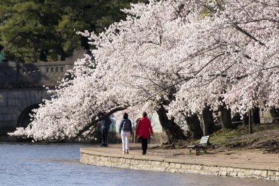 Японските вишни във Вашингтон цъфнаха (Снимки)