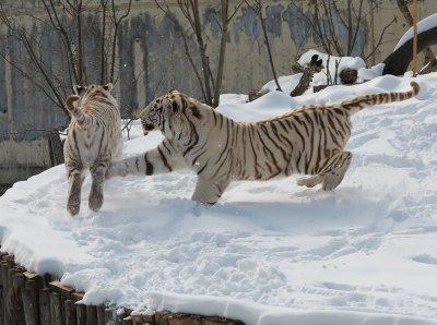 Бенгалските тигри от столичния зоопарк се забавляват в снега