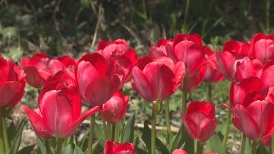 Цъфнаха първите лалета в Ботаническата градина във Варна