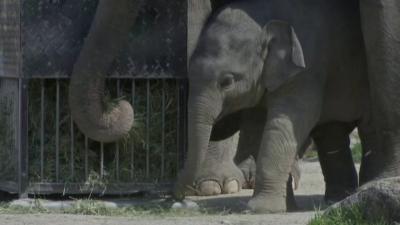 Новородено слонче в зоопарка в Мюнхен тъгува за публиката си