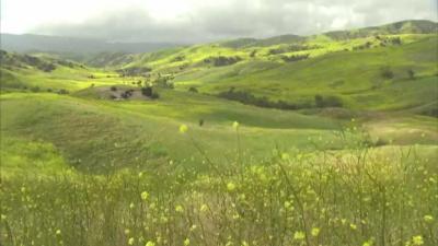 Синапените полета в Калифорния цъфнаха