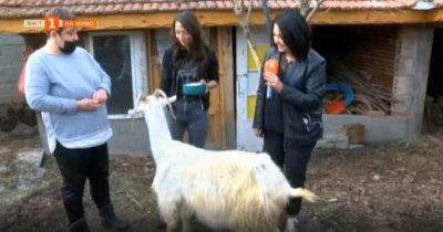 Спасиха стара коза да не стане храна в приют за животни