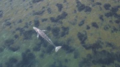 Необичайна гледка - сив кит във водите на Средиземно море