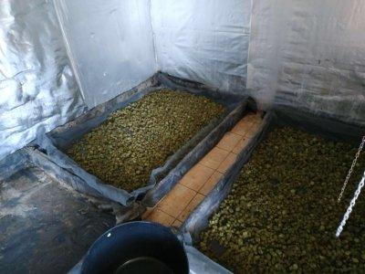 Разкриха оранжерия за марихуана в Златни пясъци