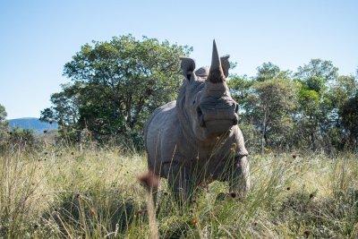 Учени ще спасяват носорози с ядрени технологии