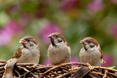 50 милиарда са птиците по света. Колко са врабчетата?