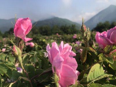 Земеделското министерство търси варианти за подкрепа на розопроизводителите