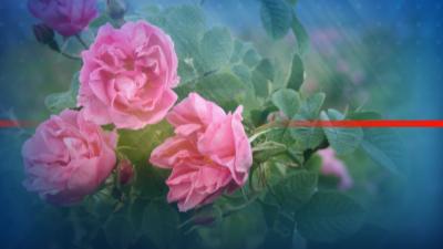 В Казанлък отбелязват празника на розата