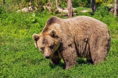 В екоминистерството обсъдиха мерки за защитения вид кафява мечка