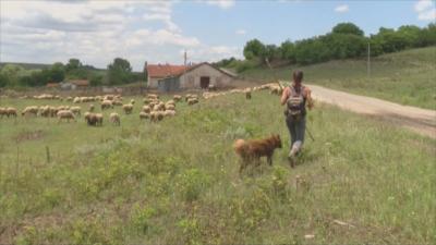 3 години по-късно: Повторни проби за чума по овцете в Болярово