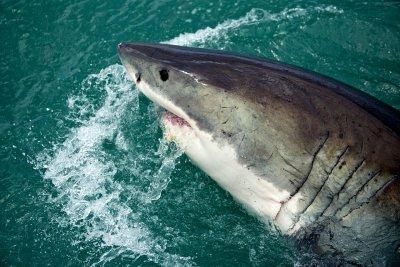 Акула изскочи от водата и захапа крака на скачащ парапланерист (ВИДЕО)