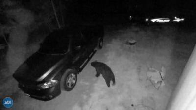 Мечка прониква в автомобили в Ню Хемпшир