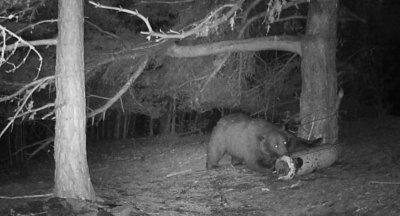 Издадено е разрешение за отстрел на мечката, нападнала жена в Белица