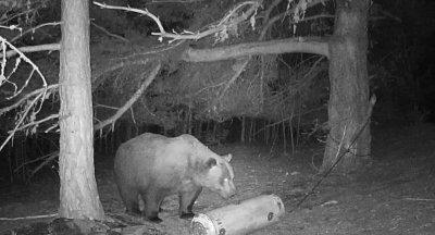 Ето я мечката, нападнала жена в Белица