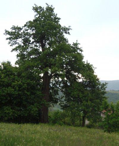 Обявиха 300-годишен цер за защитено дърво (СНИМКИ)