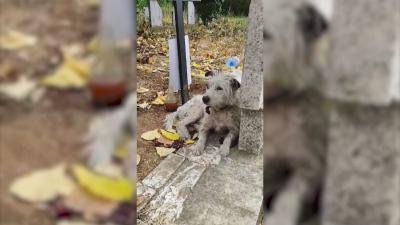 Куче в Пищигово дни наред не изоставя гроба на стопанката си