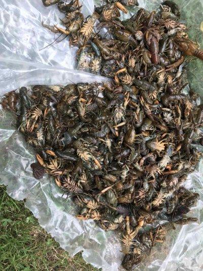 Стотици мъртви раци в Стара река в Карлово