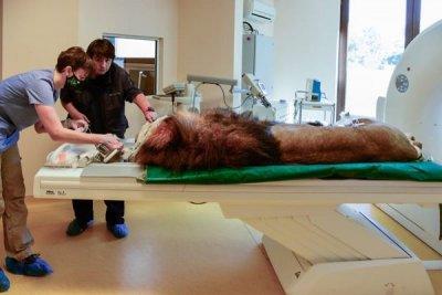 Лъвът Славчо бе подложен на пълен профилактичен преглед