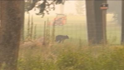 Мечка бяга от пожарите в Калифорния
