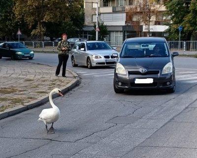 Лебед се разхожда между колите в Пловдив, спасиха го