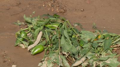 100% пропаднала реколта има при 66 от заявленията за обезщетение след градушката в Пловдивско