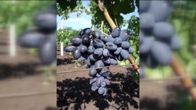 Най-едрият сорт грозде в света е в Русе